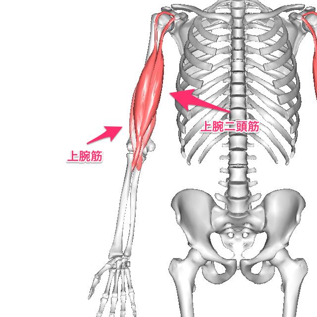 jyouwankinnitoukin-7 上腕二頭筋は橈骨に付着するのに対して、上腕筋は尺骨に付