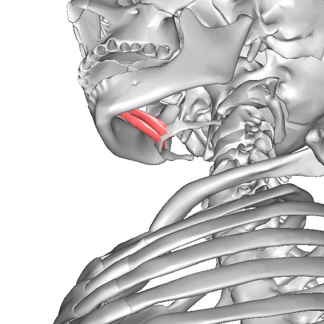 otogaizekkotukin オトガイ舌骨筋の構造 オトガイ舌骨筋は下顎骨のオトガイ棘から起
