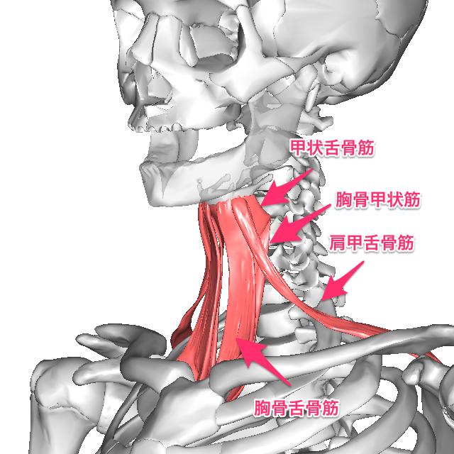 zekkotukakingun-16 舌骨下筋群は胸骨舌骨筋、肩甲舌骨筋、甲状舌骨筋、胸骨甲状筋