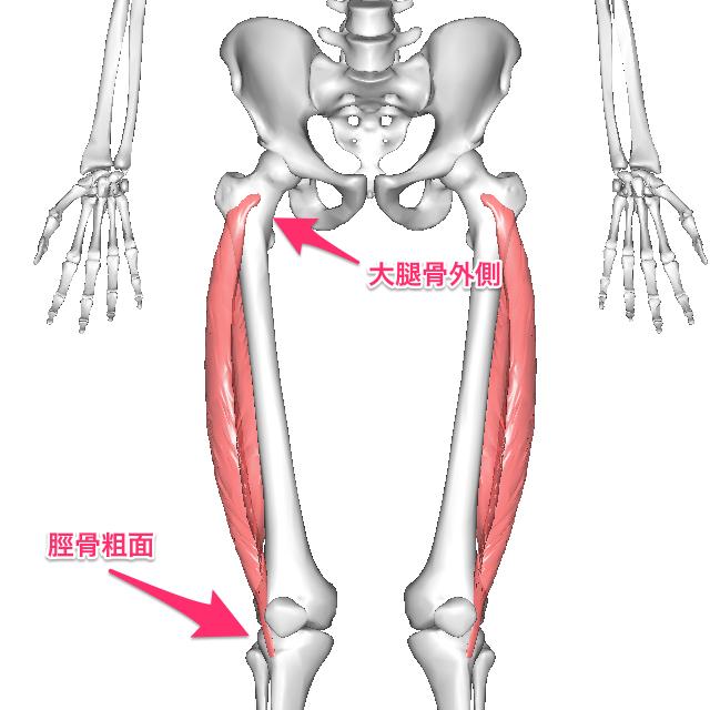 gaisokukoukin-6 外側広筋は大腿骨外側の大転子下部から起こり、大腿四頭筋腱の一部と