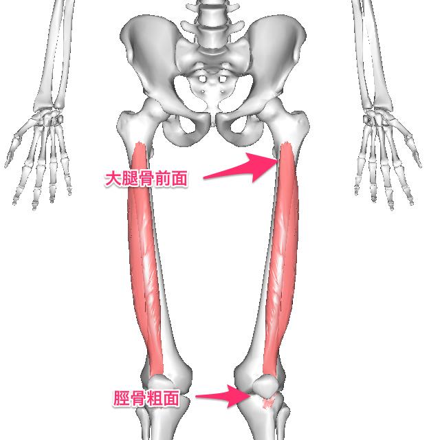 tyuukannkoukin-6 中間広筋は大腿骨体の前面から起こり、大腿四頭筋腱の一部となって