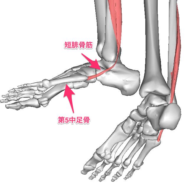 image-7 短腓骨筋は腓骨外側から起こり、長腓骨筋と共に外顆の後方を走行して第5中... 短